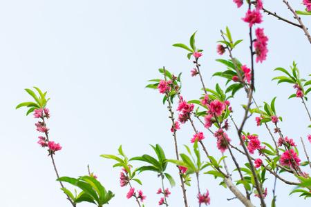 sakura blossom in spring time on sky background