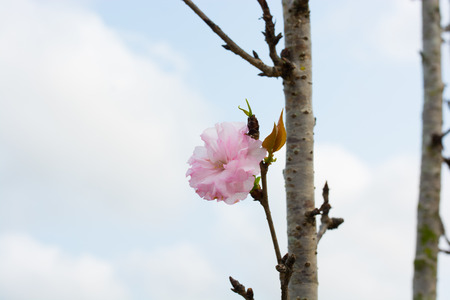 sakura blossom in spring time on sky background