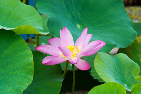 lotus flower in the pond Stock Photo - 83355209