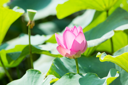 lotus flower in the pond
