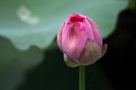 top ten: Budding lotus, one of China's top ten flowers. Stock Photo