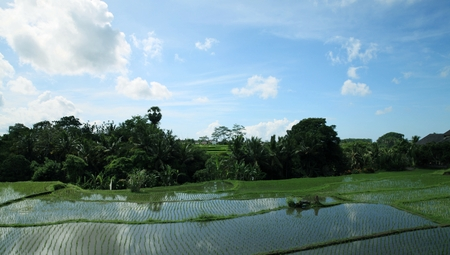 ubud: Paddy field in Ubud, Bali.