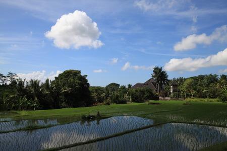 ubud: Paddy field in the villa, Ubud, Bali. Editorial