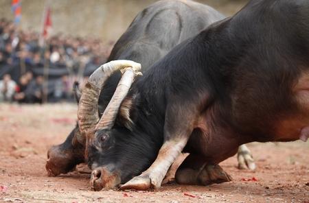 bull fighting: Chinese traditional bull fighting