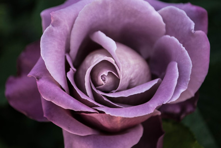 Mauve Blooming Rose Stock Photo