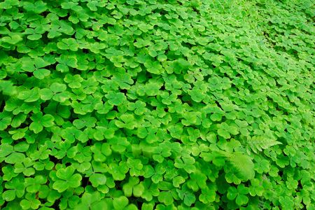 A field of clover, Oxalis sp., Oxalidaceae. Stock Photo - 5527391