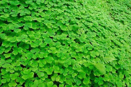 oxalidaceae: A field of clover, Oxalis sp., Oxalidaceae.