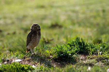 burrowing: Three Burrowing owls on the field