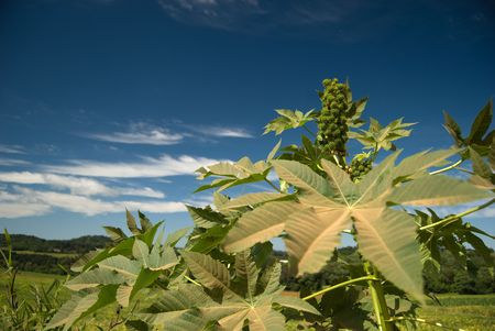 The oil of castor seed is one of raw materials used in the production of biofuel in Brazil. photo
