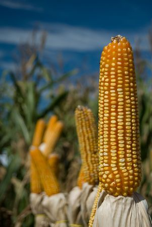 extensively: The maize is one known cultivated cereal to a large extent of the world. The maize extensively is used as human food or animal ration, had to its nutricionais qualities.