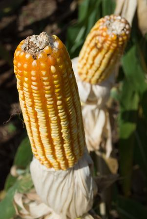 zea: The maize is one known cultivated cereal to a large extent of the world. The maize extensively is used as human food or animal ration, had to its nutricionais qualities.