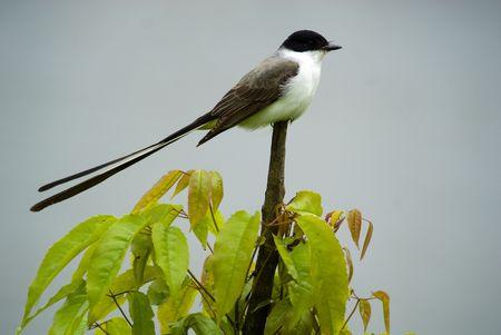 savana: Fork-tailed Flycatcher, Tyrannus savana - Tyrannidae. Put on the tree. Stock Photo