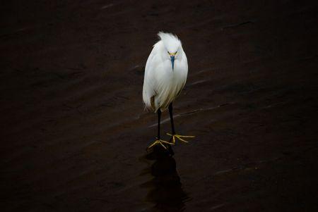 ardeidae: Snowy Egret, Egretta thula - Ardeidae. Bird on the water.