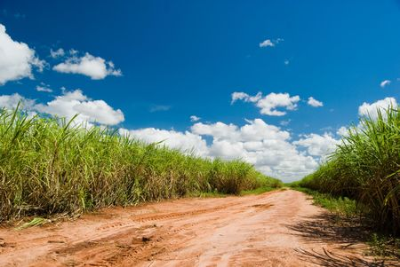 saccharum: Road for the Sugar Cane Field. Brazil produces about one-third of the sugarcane production in the world.