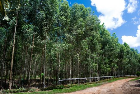 deforestation: Reforestation of eucalyptus for production of coal in the south of Brazil. Eucalyptus spp. - Myrtaceae.