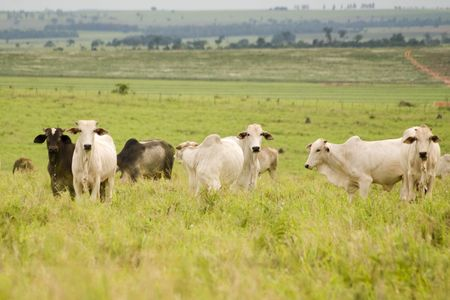cleared: Zebu Cattle grazing on land cleared of forest in Brazil.