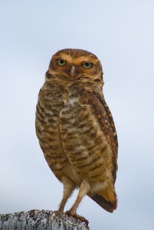 athene: Burrowing owl on a fence post. Athene cunicularia - Strigidae. Stock Photo