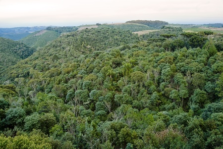 rainforest: Araucaria forest is a associated ecosystem to brazilian atlantic rainforest, endangered of extinction. Today less than 1% of araucaria forest. Stock Photo