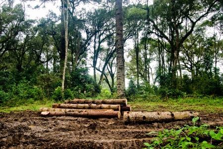 Brazilian pine trunks (Araucaria angustifolia - Araucariaceae) in mud on a rainy day. photo