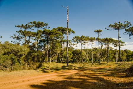 A grove of brazilian pine trees (Araucaria angustifolia - Araucariaceae), typical of Southern Brazil. photo