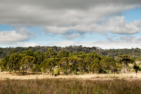 Brazilian pine forest, threatened with extinction, in the highlands of southern Brazil. Banco de Imagens
