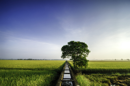 beautiful wide view yellow paddy field in the morning. blue sky .water canal for irrigation and single tree in the middle.