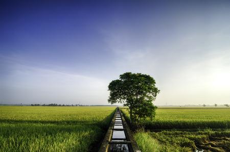 prachtig weids uitzicht gele rijst veld in de ochtend. blue sky .Water kanaal voor irrigatie en enkele boom in het midden.