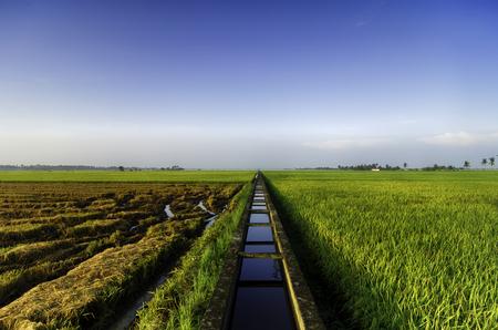 geweldig uitzicht rijstvelden in de ochtend. beton water kanaal en enkele boom voor padie veld irrigatie.