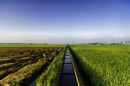 amazing view paddy fields at morning. concrete water canal and single tree for paddy rice field irrigation.