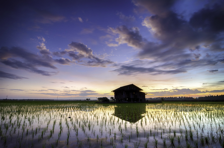 paddy: soft focus and blurred image lonely abandon house in the middle paddy field with beautiful sunrise background. Dramatic  clouds and colorful sky. new paddy season and house reflection on water.