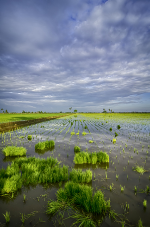 began: new season began, green leaves of paddy on the water with beautiful clouds and blue sky