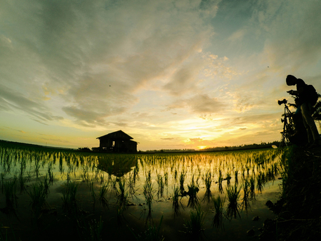 paddy field: silhouette image group of photographer taking photo lonely house surrounded by green paddy sprout at new season with lovely sunrise background. Noise and grain effect applied