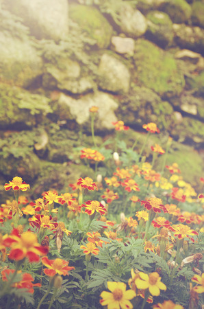patula: retro color look  French marigolds (Tagetes patula) flower with rocky background