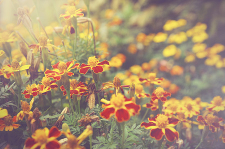 patula: French marigolds (Tagetes patula) flower background with retro and vintage color look. Stock Photo