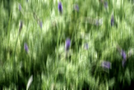 lavandula angustifolia: blurred image background of Fresh lavender flowers ( Lavandula angustifolia)
