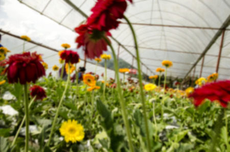 blurred image background colorful daisy flower in the greenhouse at sunny day