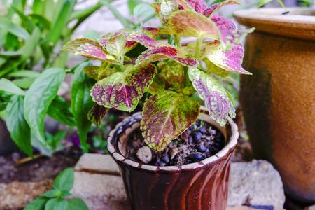 selective focus shot, Coleus ( Solenostemon scutellaides) plant in ceramic pot. vantage color effect.