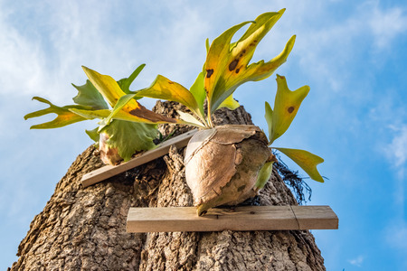 Closed up image Staghorn Ferns (Platycerium Holttumii) plant over blue sky background