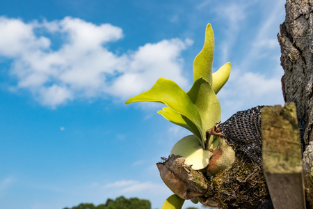 Selective focus and closed up image Staghorn Ferns (Platycerium Holttumii) plant over blue sky background