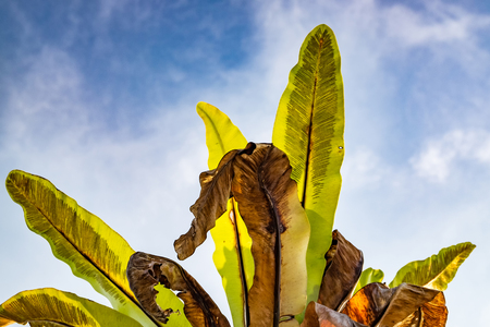 tropical evergreen forest: Selective focus and closed up image of Bird Nest Fern (Asplenium nidus) over blue sky background Stock Photo