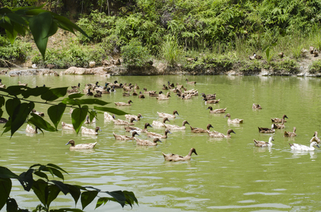 swampland: A covey of ducks swimming in the pond at sunny day Stock Photo
