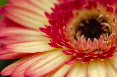 Selective macro shot, blooming Gerbera Daisies petal with shallow depth of field.