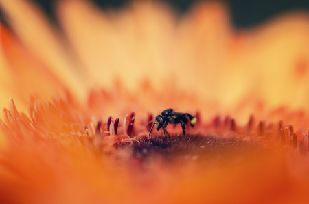 Macro shot, black bee stinging a flower looking for pollen with shallow depth of field Фото со стока