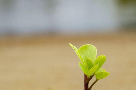Grüne Sprossen wachsen aus Sand symbolisch für die Geschäftsentwicklung oder das Ökosystemkonzept. Makroaufnahme und selektive Fokusaufnahme Standard-Bild