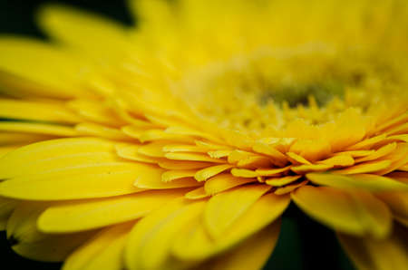 Production and cultivation of beautiful blooming Gerbera Daisy flowers in modern greenhouse 版權商用圖片