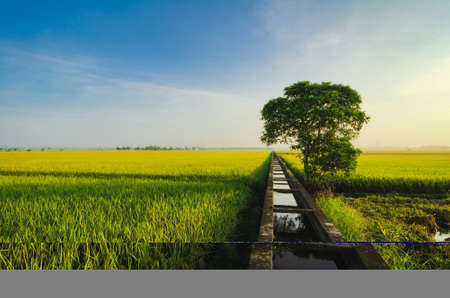 Peaceful view, paddy field scenery in Selangor State, Malaysia againts blue sky and cloudy sky