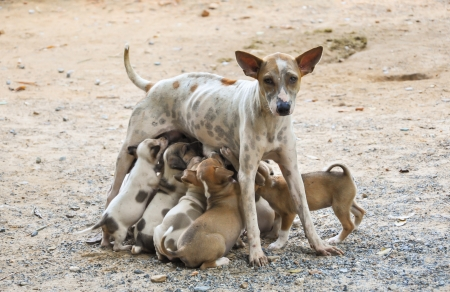 Stray mother dog feeding her cute little puppies which are sucking the milk