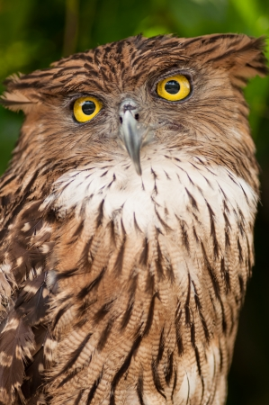 inhabits: The Brown Fish Owl is an owl  This species is a part of the family known as typical owls, Strigidae, which contains most living owls  It inhabits the warm subtropical and humid tropical parts of continental Asia and some offshore islands  Stock Photo