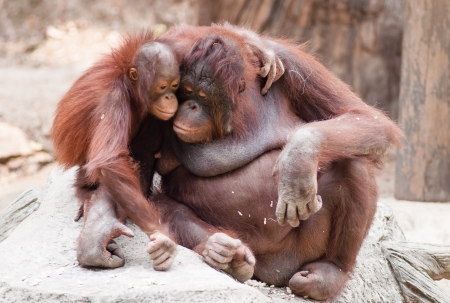 simian: Mother orangutan with her cute baby at Khao Kheow open Zoo in Thailand  Stock Photo