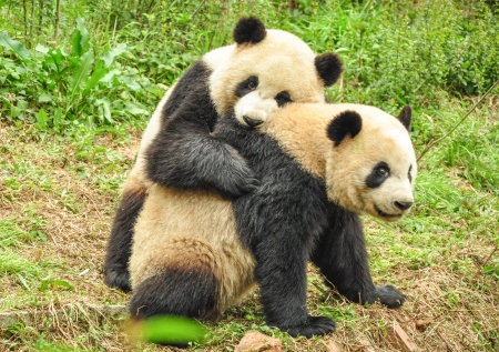 giant panda: Two Great Pandas playing together at Chengdu, Sichuan Province, China